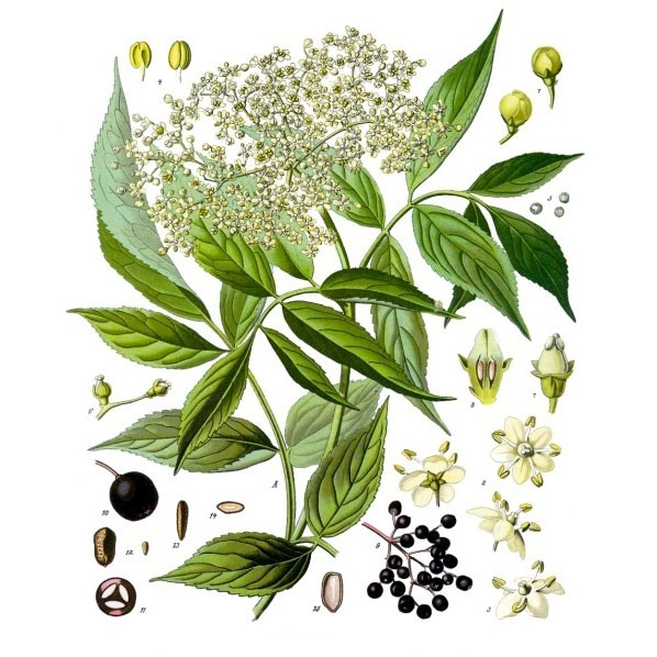 Herbs to Know – Elder